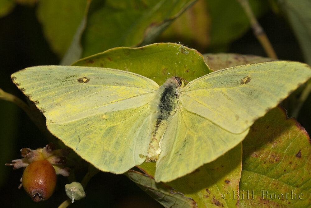 Female Cloudless Sulphur