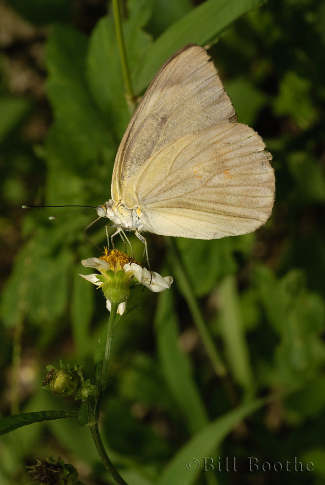 Female Great Southern White