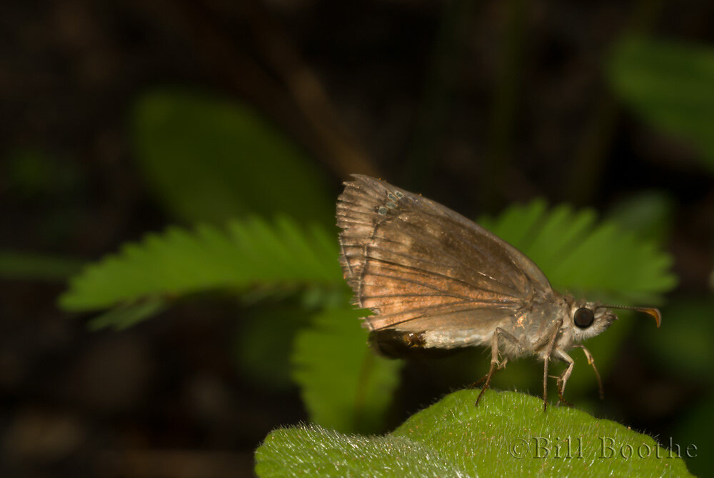 Female Horace's Duskywing
