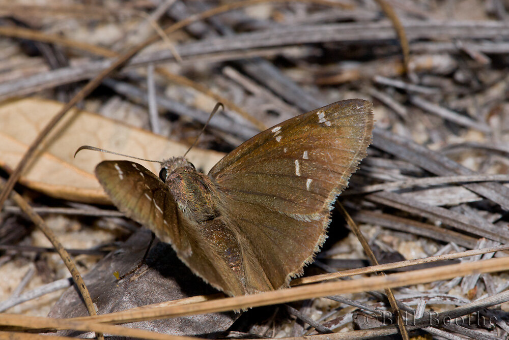 Confused Cloudywing Skipper