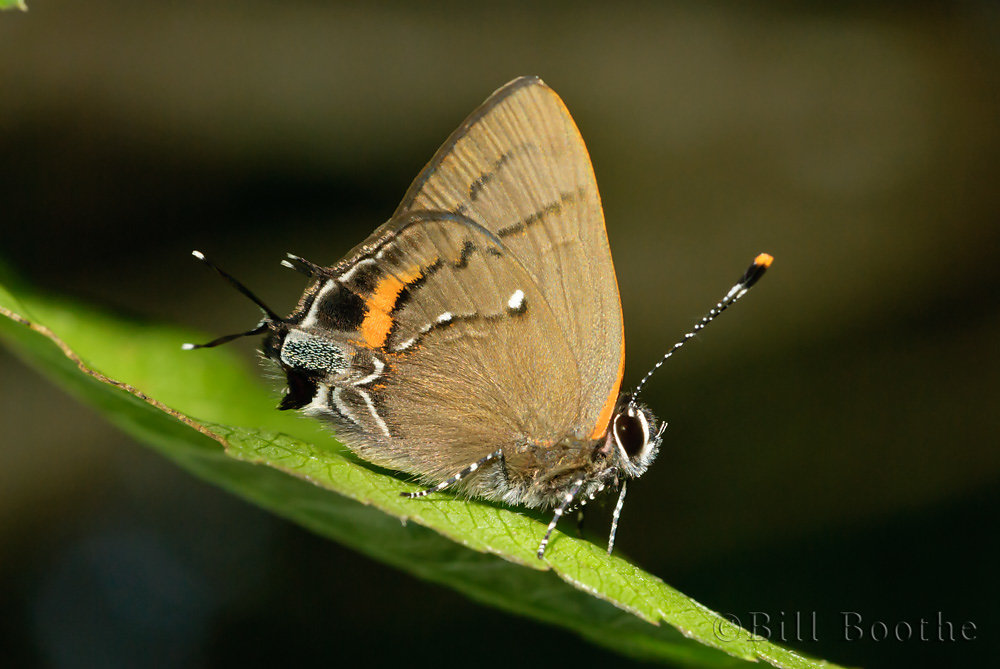 Fulvous Hairstreak
