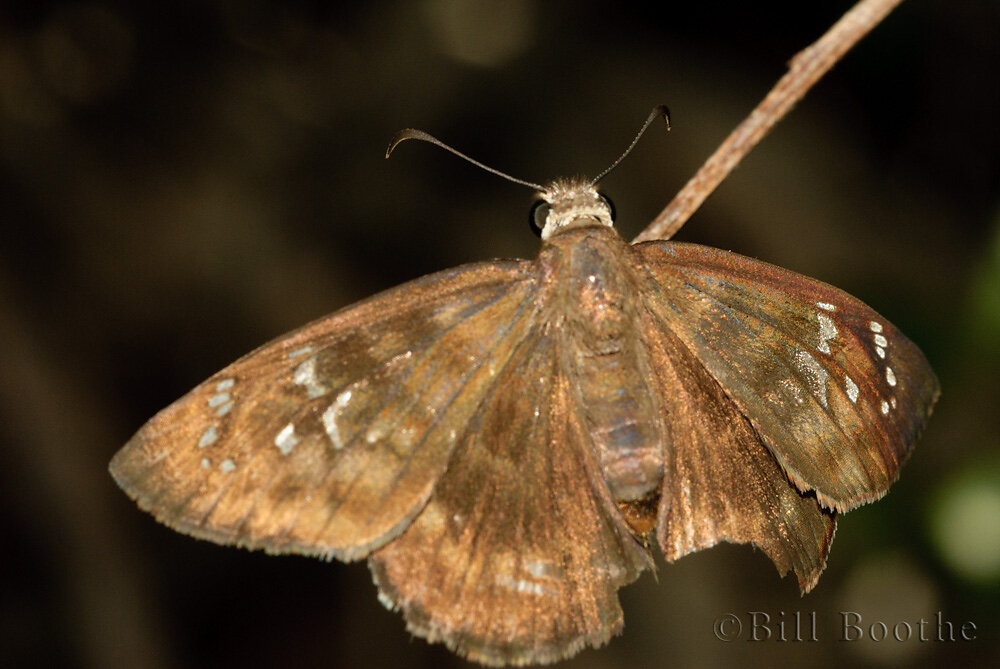 Female Florida Duskywing