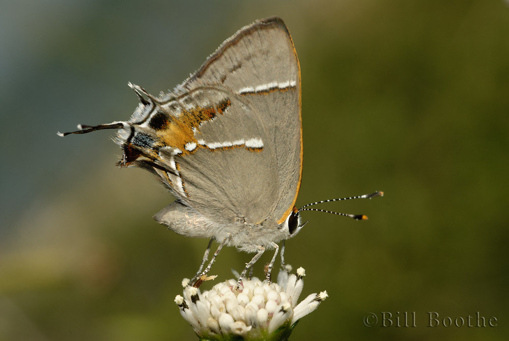 Martial Scrub-hairstreak