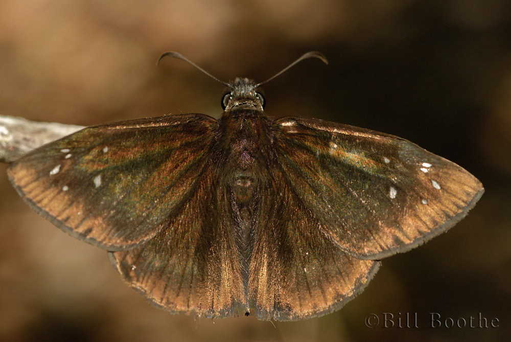 Male Florida Duskywing