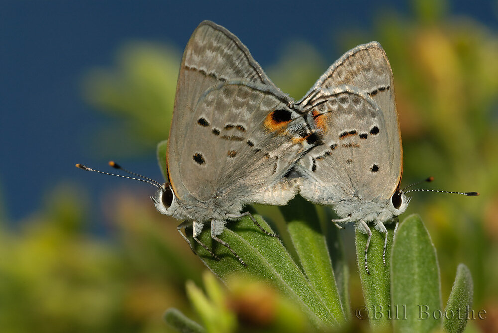 Mating Mallow Scrub-hairstreaks