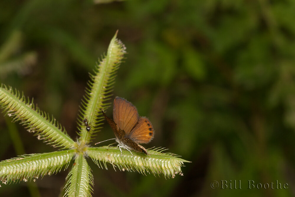 Eastern Pygmy-Blue