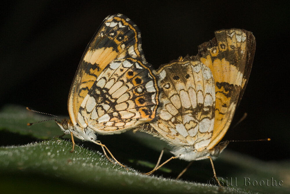 Silvery Checkerspots