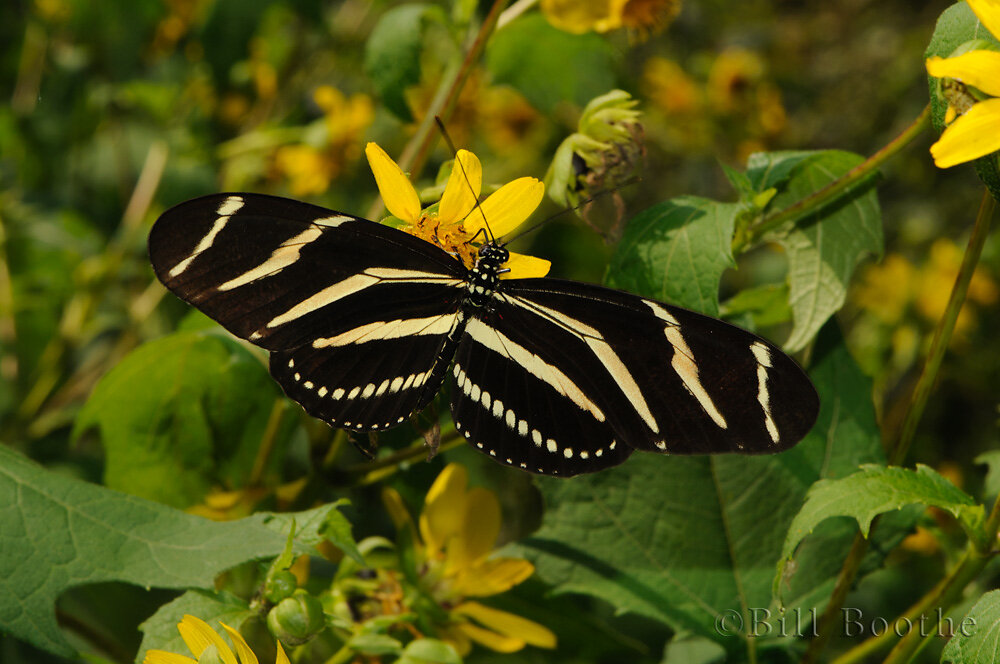 Zebra Longwing on Hairy Leafcup