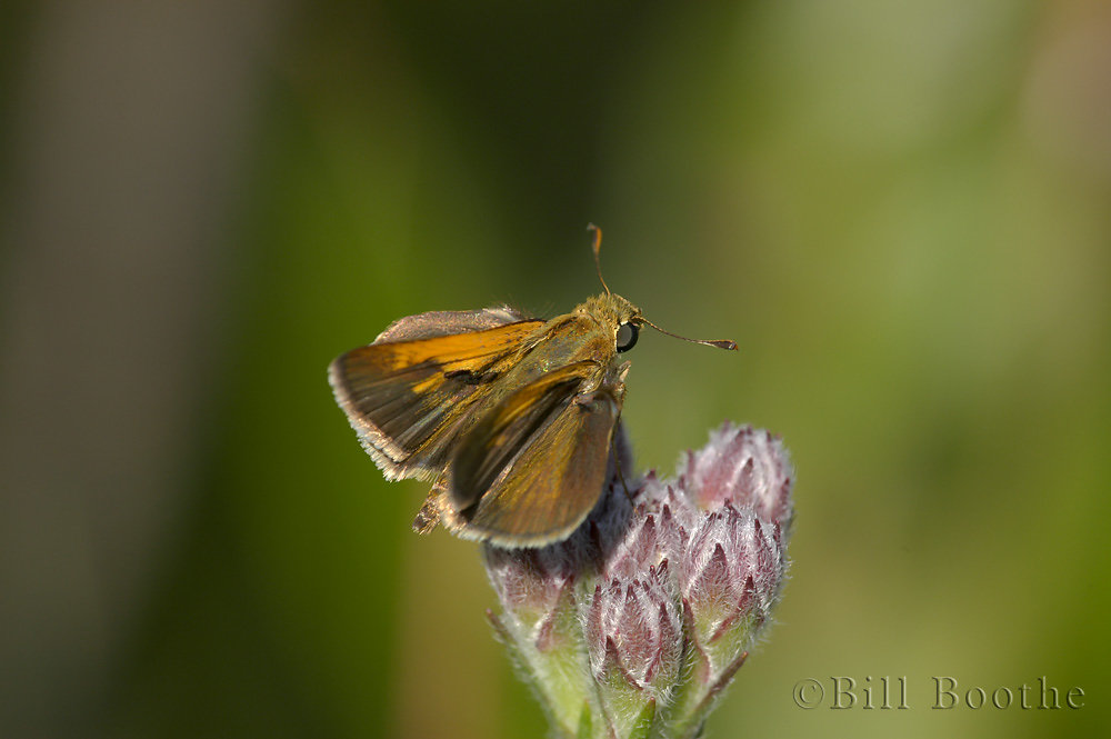 Male Tawny-edged skipper