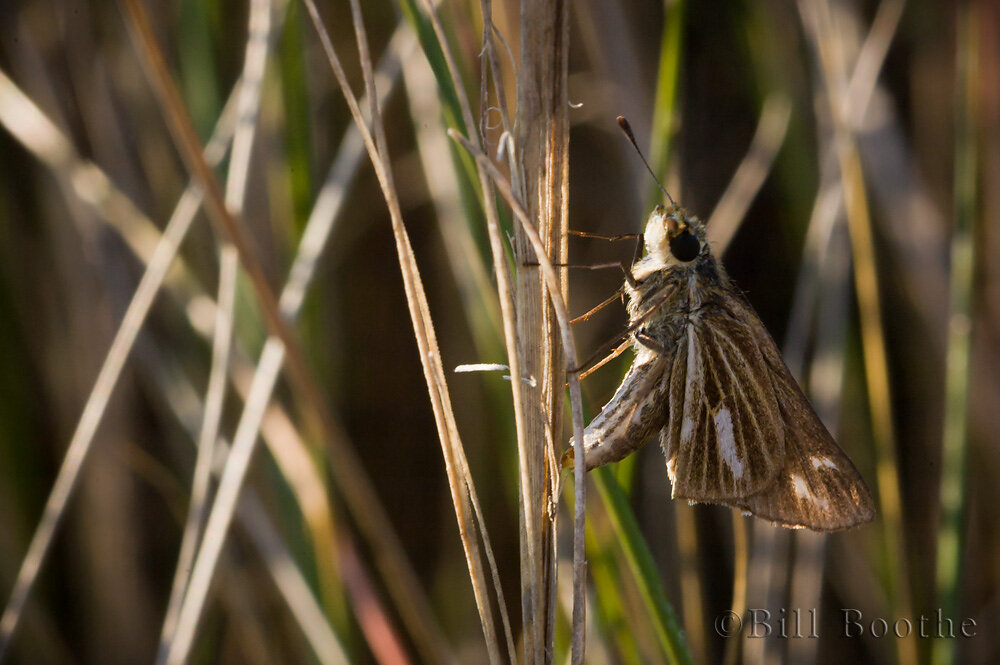 Salt Marsh Skipper