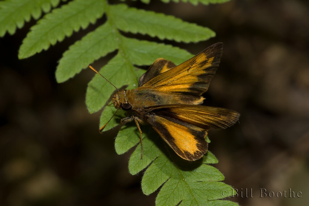 Male Zabulon Skipper