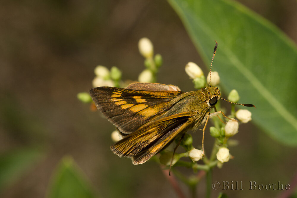 Female Byssus Skipper