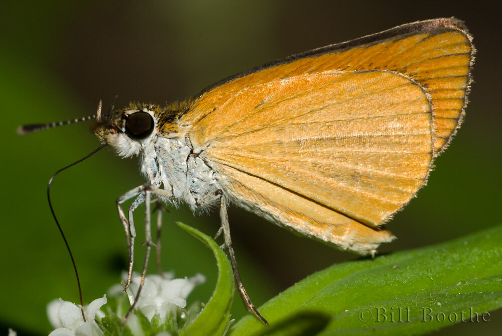 Least Skipper