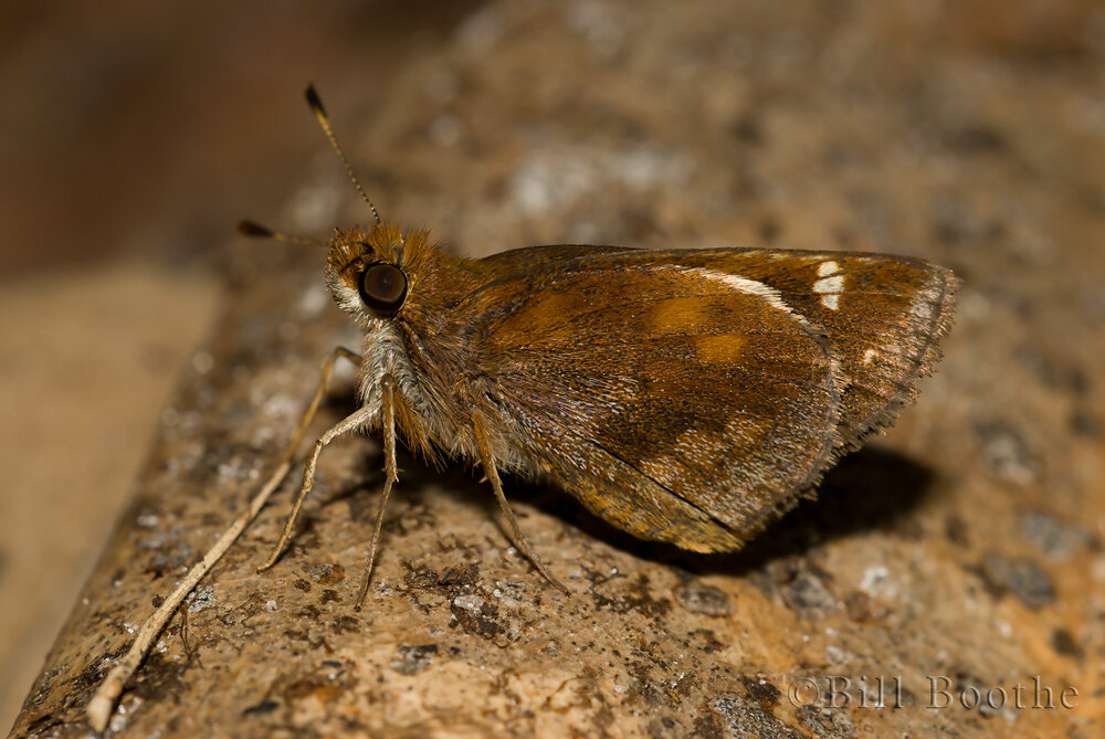 Female Zabulon Skipper