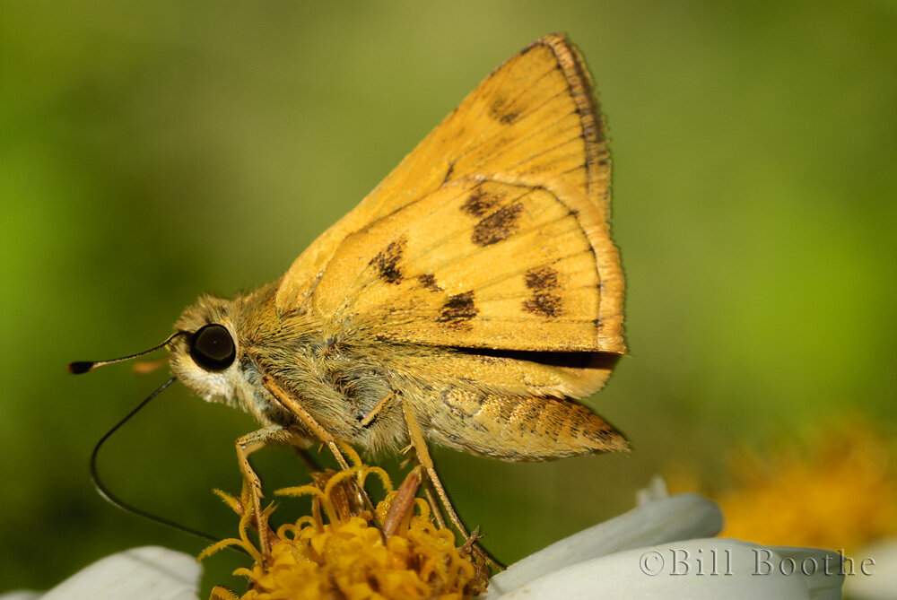 Male Whirlabout Skipper