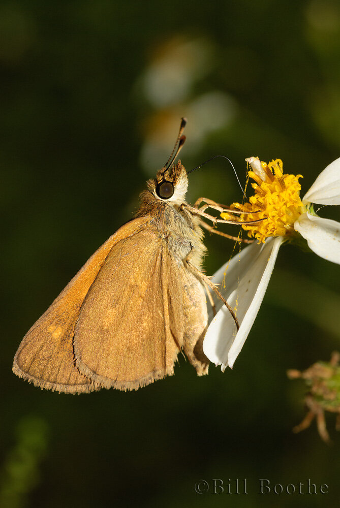 Broad-winged Skipper