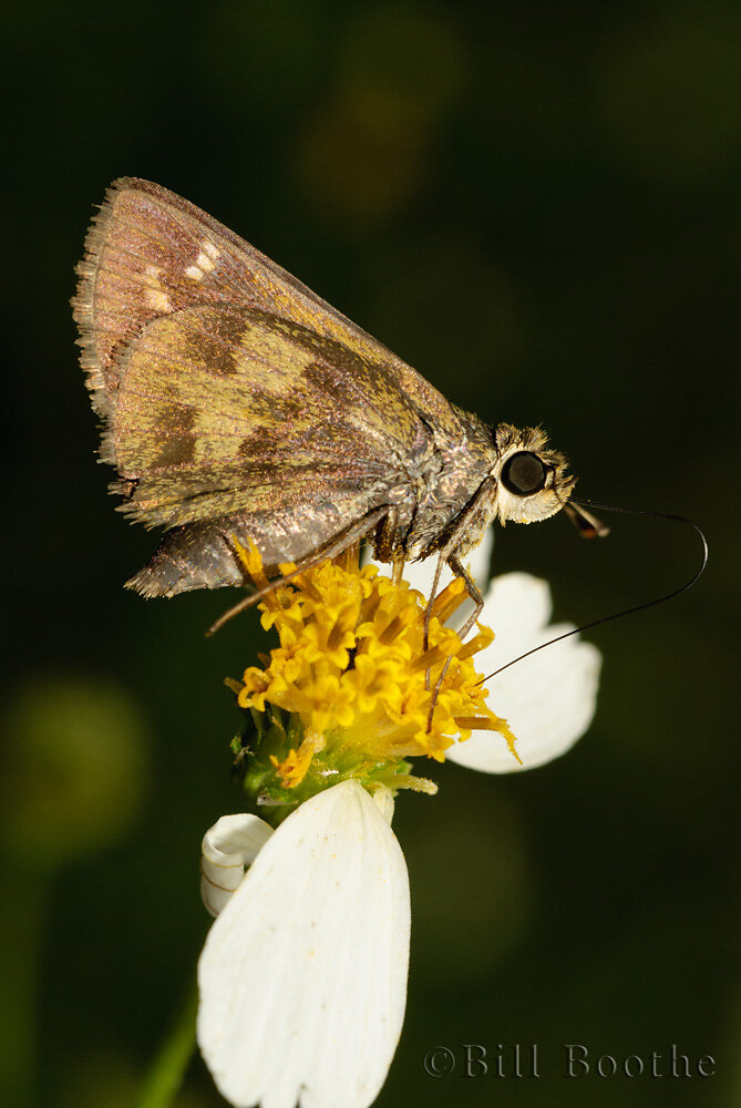 Female Whirlabout Skipper