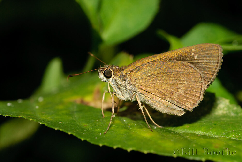 Three-spotted Skipper