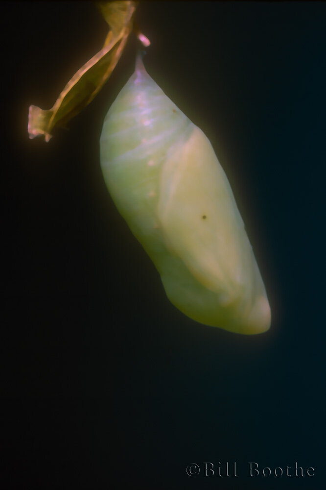 White Peacock Chrysalis