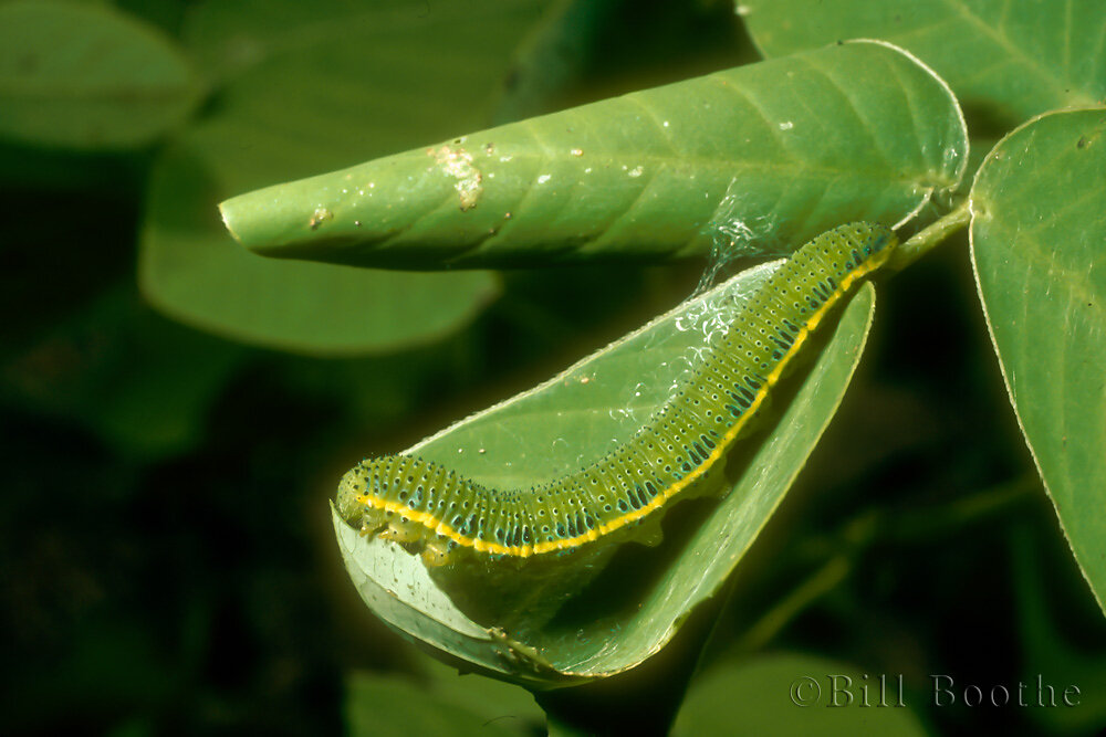 Cloudless Sulphur Caterpillar