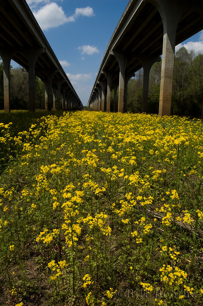 Butterweed Under the Interstate