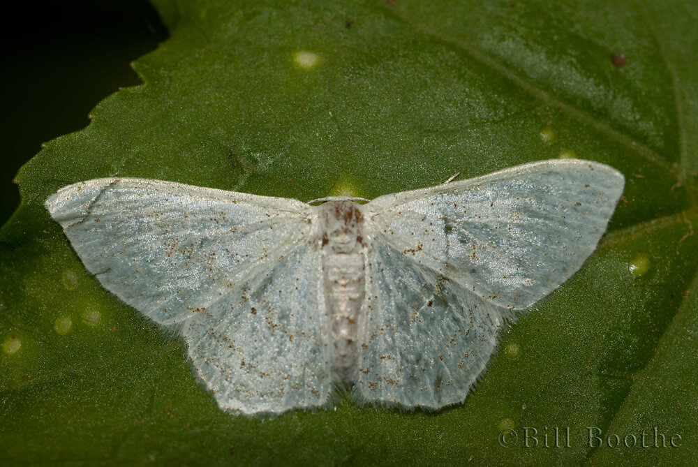 Common Tan Wave Moth