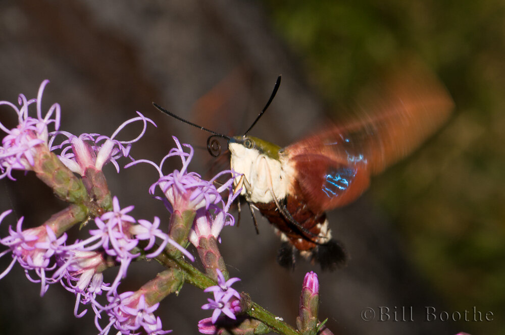 Hummingbird Sphinx Moth