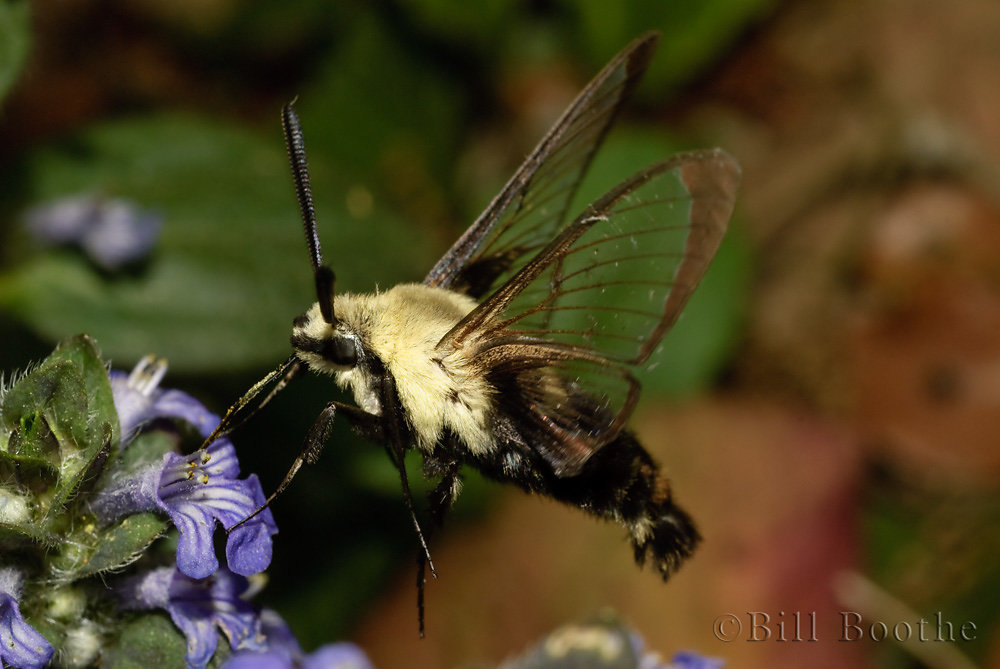 Snowberry Clearwing Sphinx Moth