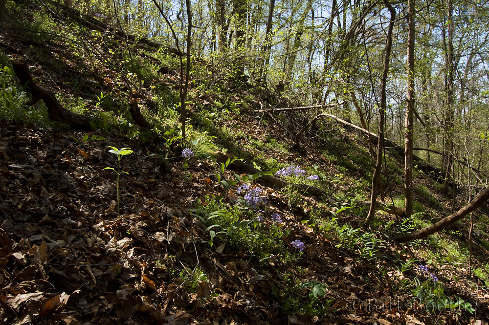 Wild Blue Phlox on ravine slope