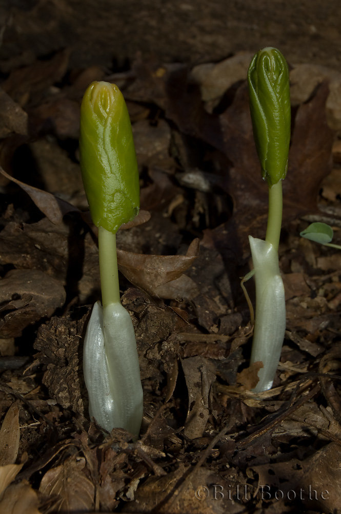 Newly Emerging Mayapples