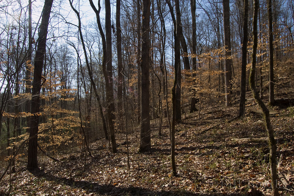 Beech-Magnolia Forest Slope