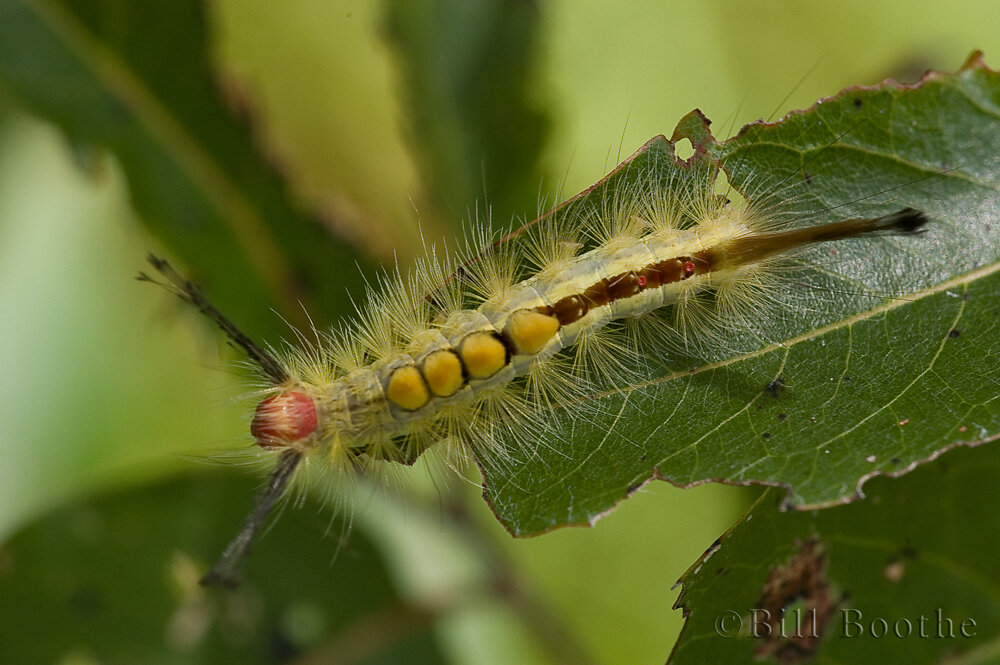 White-marked Tussock Moth Caterpillar