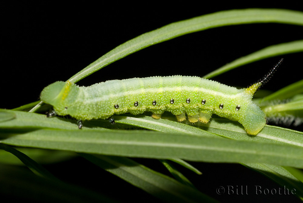 Snowberry Clearwing Caterpillar