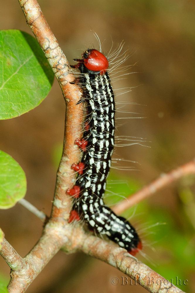 Post-burn Datana Caterpillar