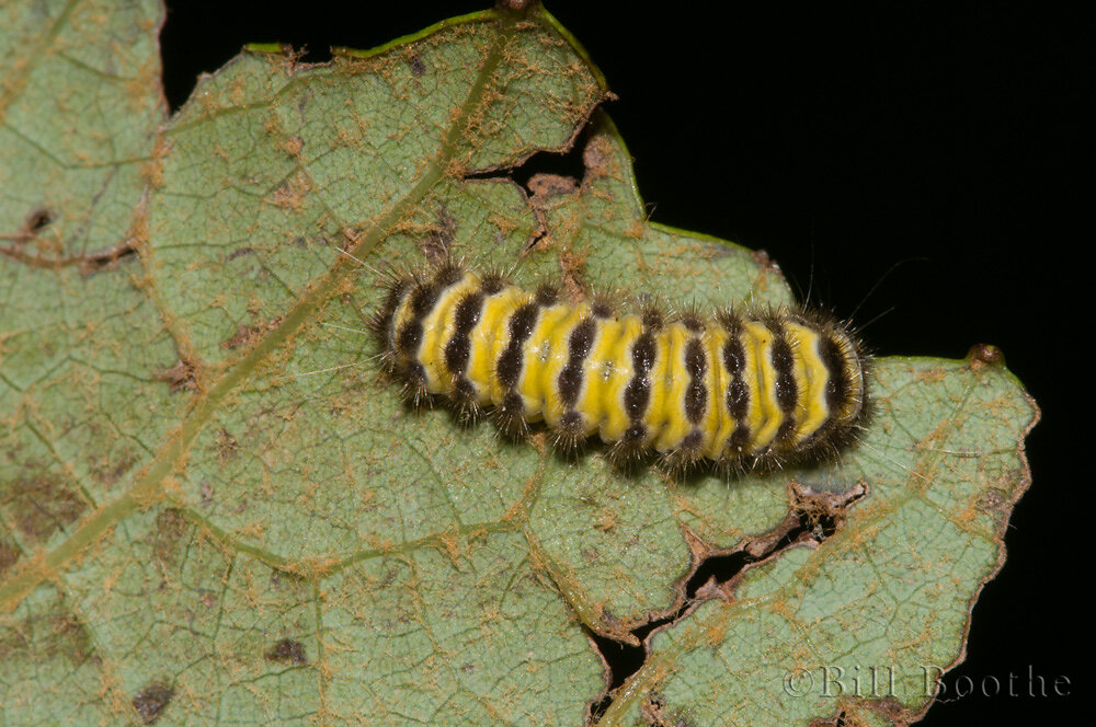Grapeleaf Skeletonizer Moth Caterpillar