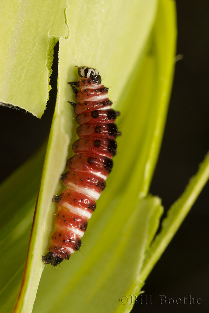 Pitcherplant Moth Caterpillar