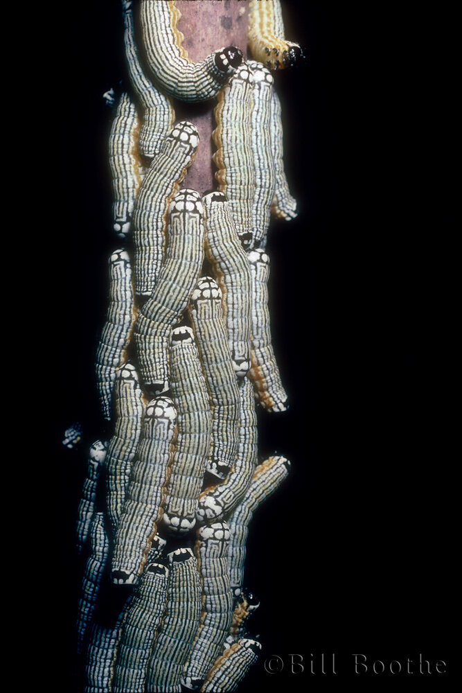 Turbulent Phosphila Moth Caterpillars