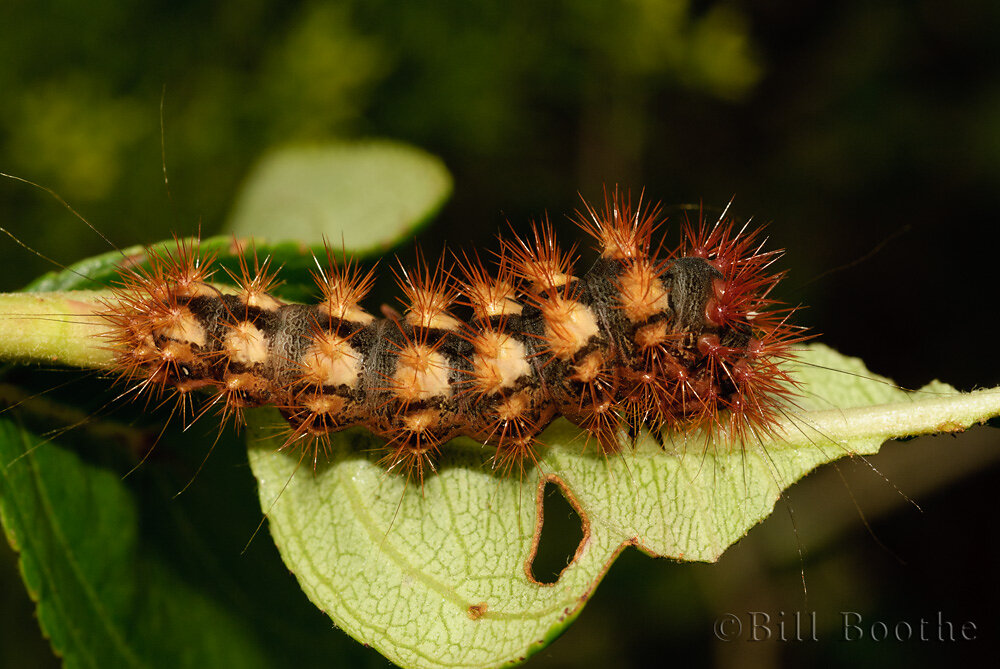 Long-winged Dagger Moth Caterpillar