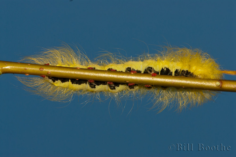 Spotted Apatelodes Moth Caterpillar