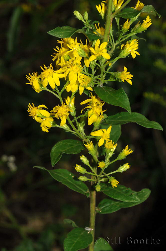 Downy Ragged Goldenrod