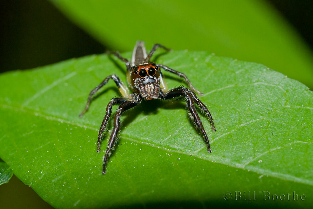 Woodland Jumping Spider