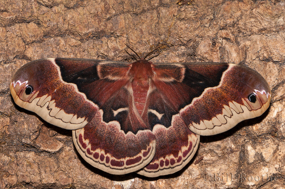 Female Promethea Moth