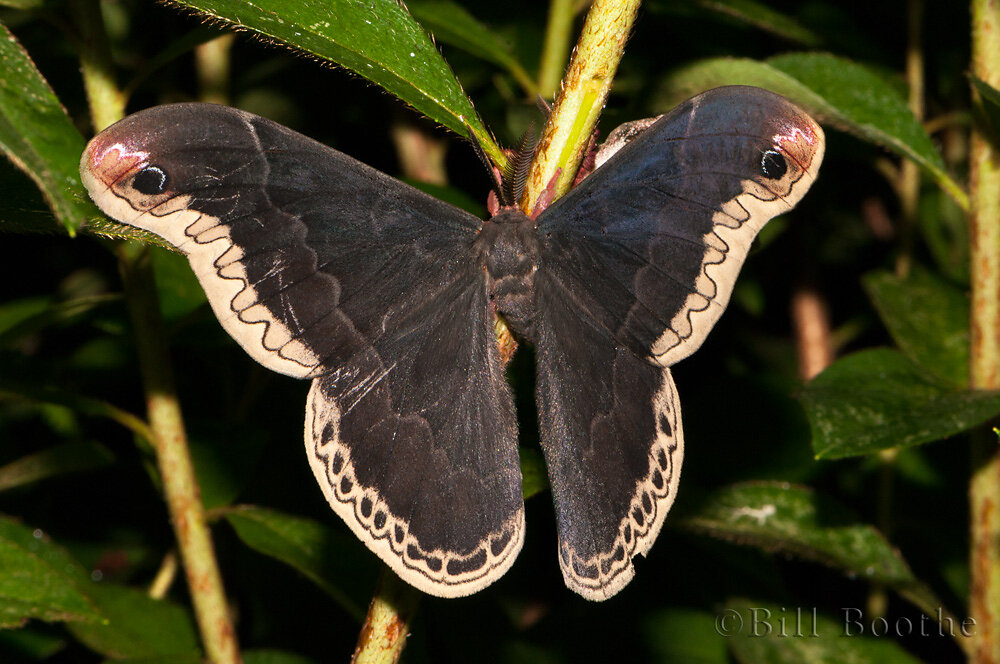 Male Promethea Moth