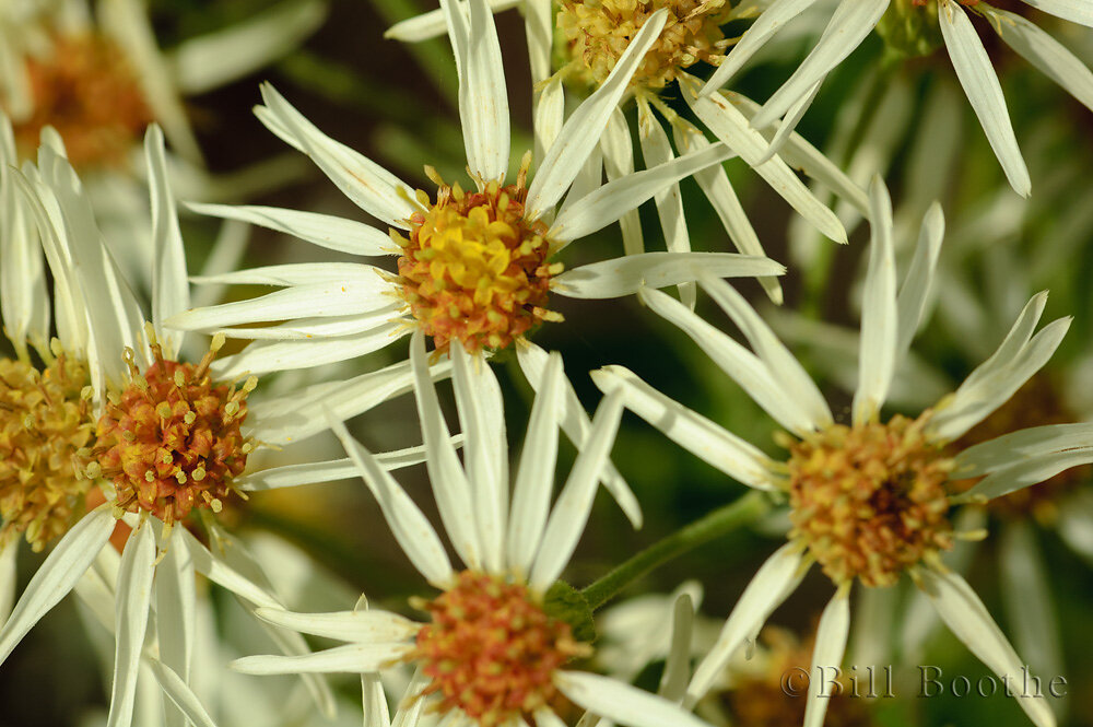 Whitetop Aster