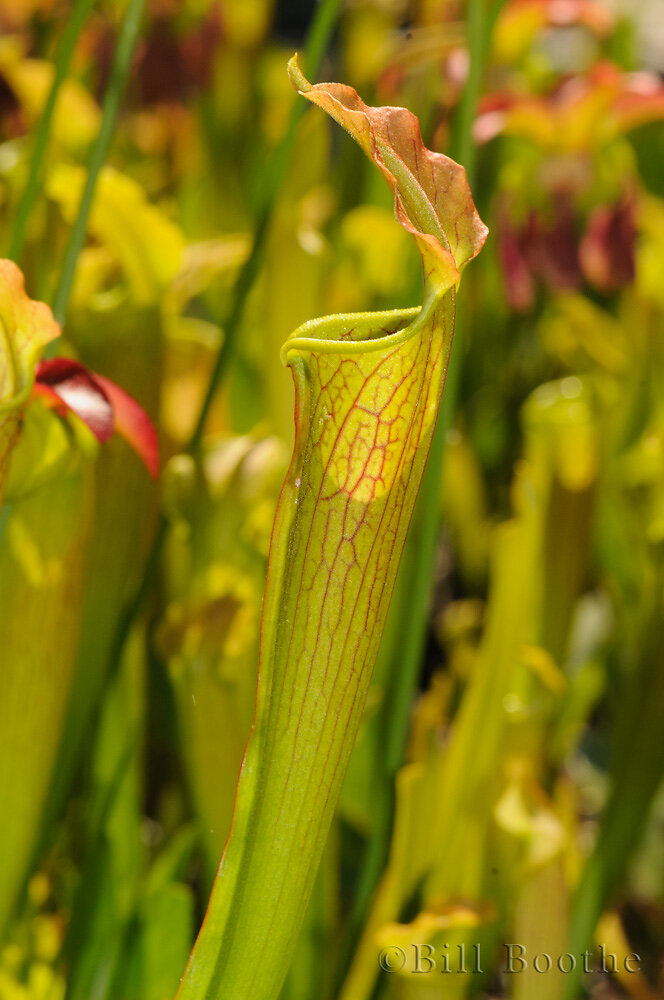 Wherry's Redflower Pitcherplant