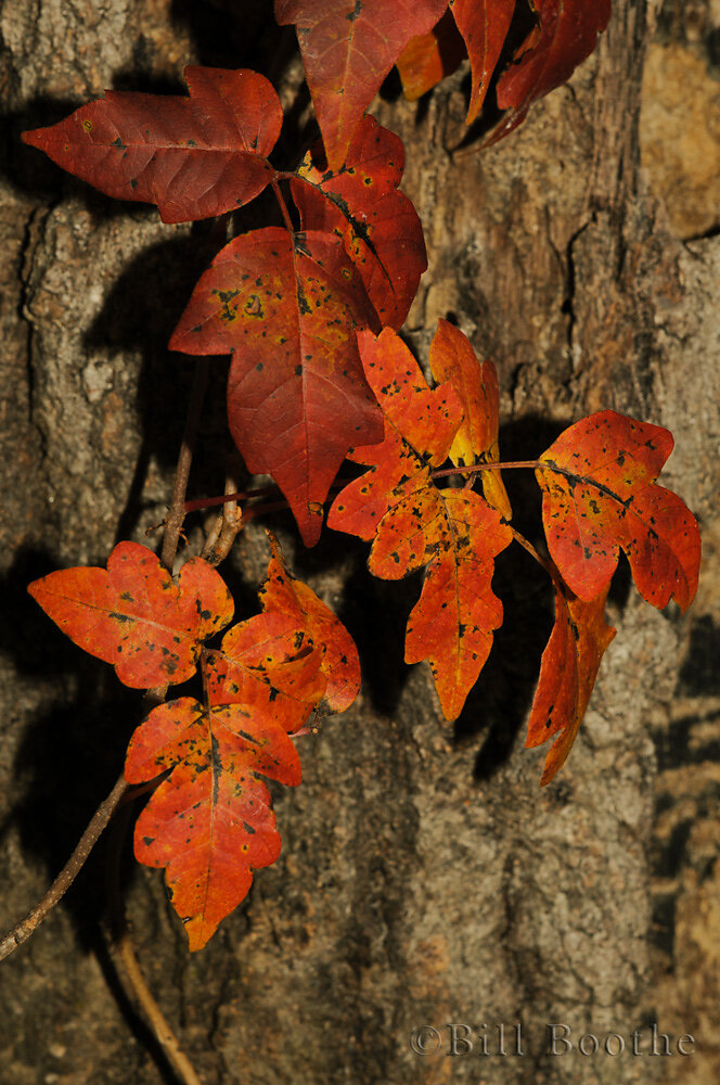 Eastern Poison Ivy