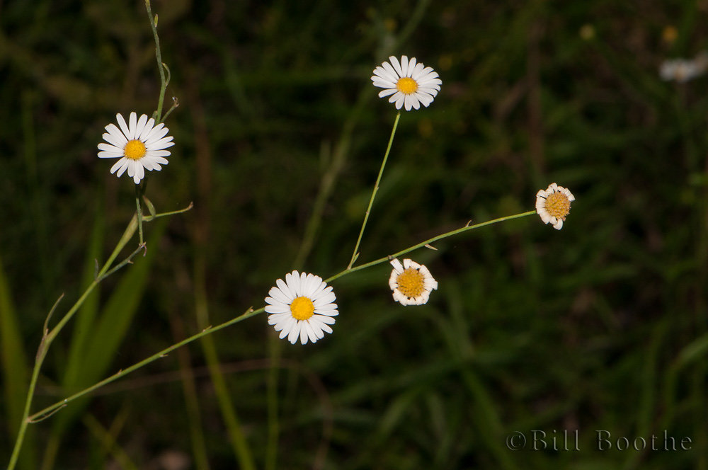 Smallhead Doll's Daisy