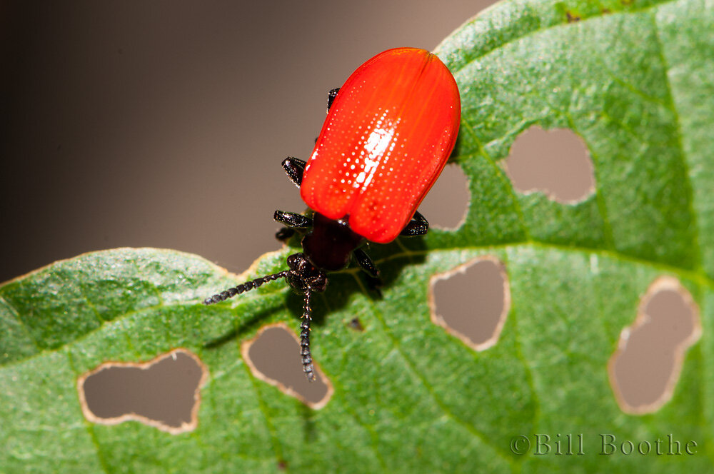 Air Potato Leaf Beetle