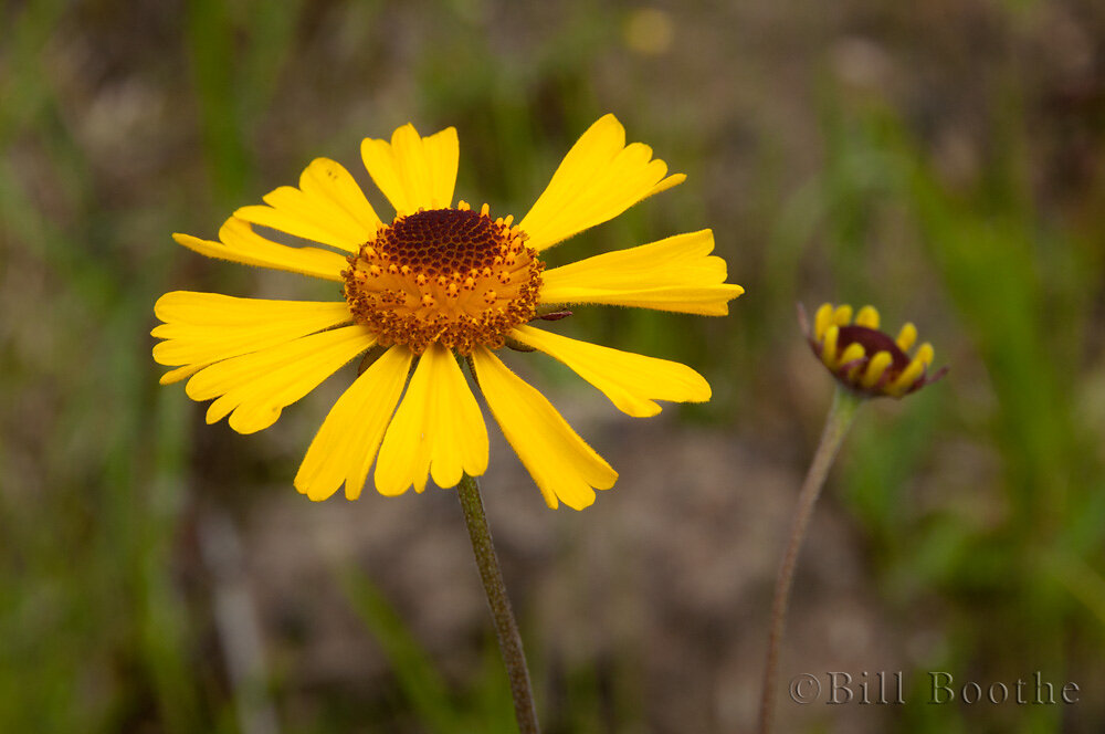 Shortleaf Sneezeweed