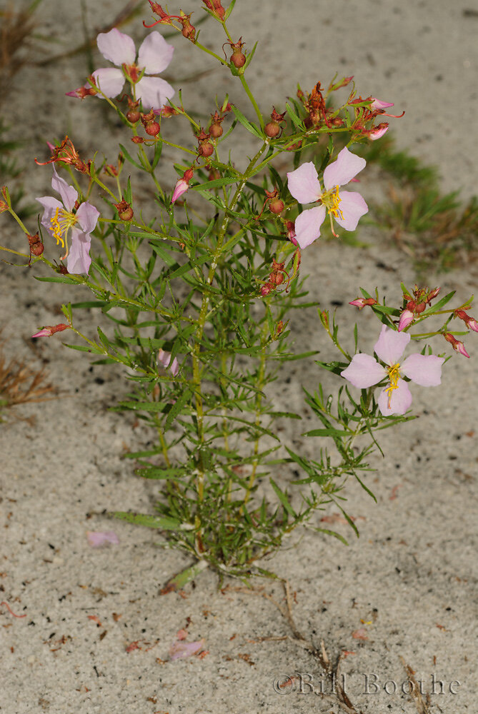Panhandle Meadowbeauty
